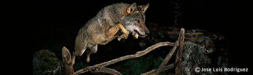 springendewolf